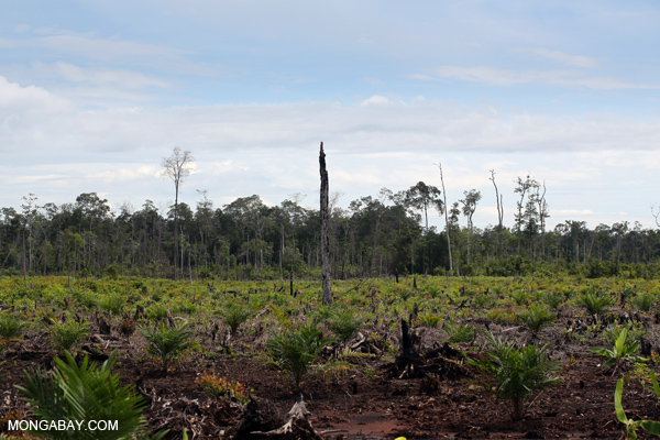 Conversion of peat forest in Central Kalimantan for an oil palm plantation. Taken by Rhett A. Butler in March 2013.