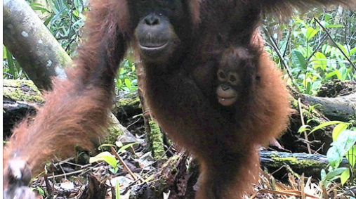Bornean Orangutans Caught on Camera in Katingan