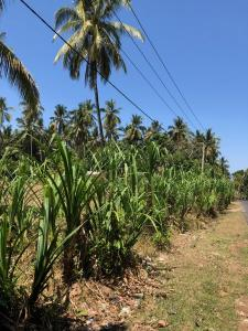 Pandanus Grass growing in East Bali