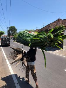 Woman carrying Pandanus Grass
